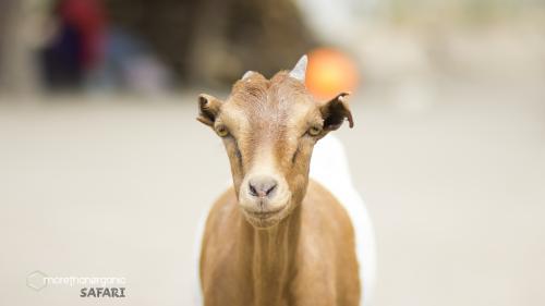 Goat Face mto logo safari