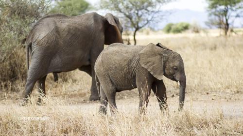 Happy Elephant Baby 1334 mto
