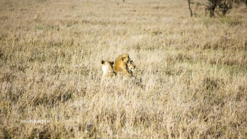 Lion Honeymoon 1 mto