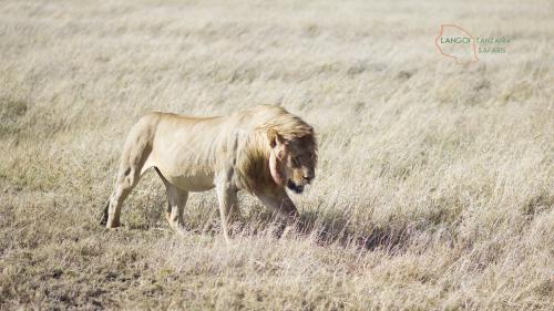 Lion Hunter 1 Langoi