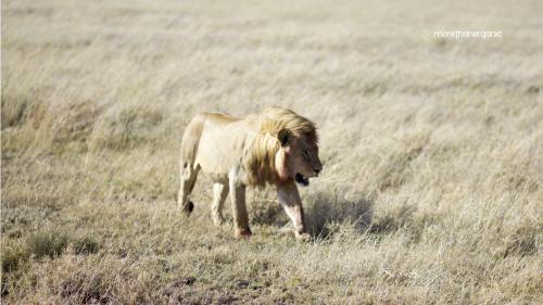 Lion Hunter 6 mto