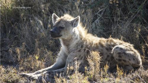 hyena mto