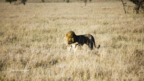 lion honeymoon 4 mto