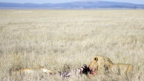 lion hunter eating mto